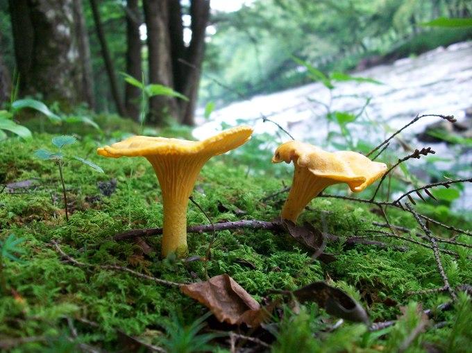 chanterelle-mushrooms